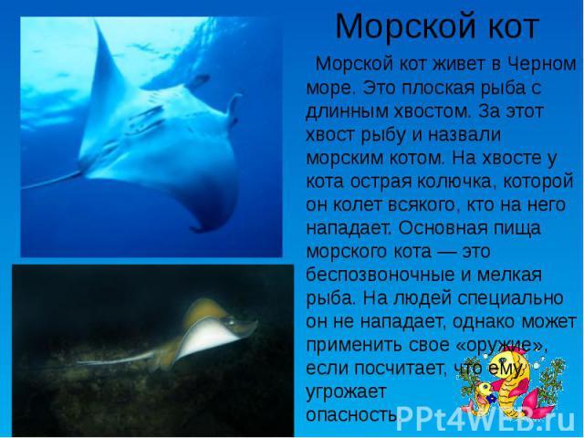 Морской кот Морской кот живет в Черном море. Это плоская рыба с длинным хвостом. За этот хвост рыбу и назвали морским котом. На хвосте у кота острая колючка, которой он колет всякого, кто на него нападает. Основная пища морского кота— это беспозвон…