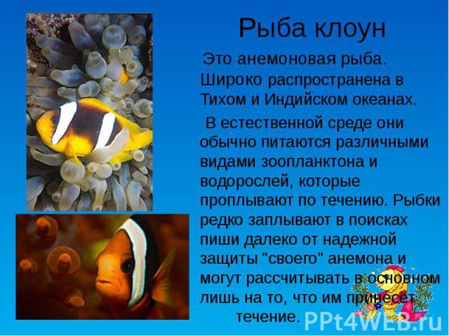 Рыба клоун Это анемоновая рыба. Широко распространена в Тихом и Индийском океанах. В естественной среде они обычно питаются различными видами зоопланктона и водорослей, которые проплывают по течению. Рыбки редко заплывают в поисках пиши далеко от на…