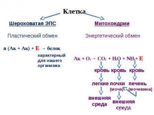 Клетка Шероховатая ЭПСПластический обменМитохондрии Энергетический обменn (Ак +
