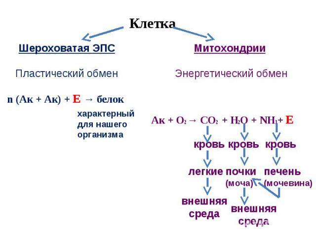 Клетка Шероховатая ЭПСПластический обменМитохондрии Энергетический обменn (Ак + Ак) + Е → белокхарактерный для нашего организма