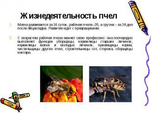 Жизнедеятельность пчелМатка развивается за 16 суток, рабочая пчела -20, а трутни