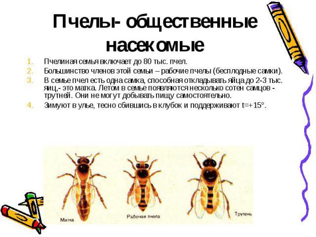 Пчелы- общественные насекомыеПчелиная семья включает до 80 тыс. пчел.Большинство членов этой семьи – рабочие пчелы (бесплодные самки).В семье пчел есть одна самка, способная откладывать яйца до 2-3 тыс. яиц,- это матка. Летом в семье появляются неск…