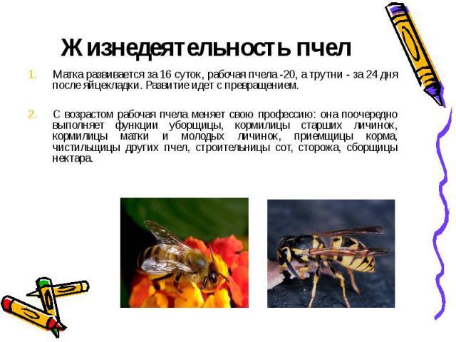 Жизнедеятельность пчелМатка развивается за 16 суток, рабочая пчела -20, а трутни - за 24 дня после яйцекладки. Развитие идет с превращением. С возрастом рабочая пчела меняет свою профессию: она поочередно выполняет функции уборщицы, кормилицы старши…