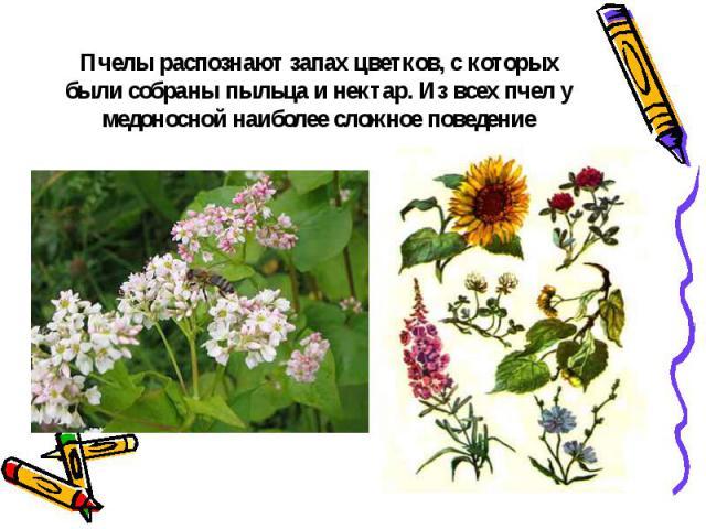 Пчелы распознают запах цветков, с которых были собраны пыльца и нектар. Из всех пчел у медоносной наиболее сложное поведение