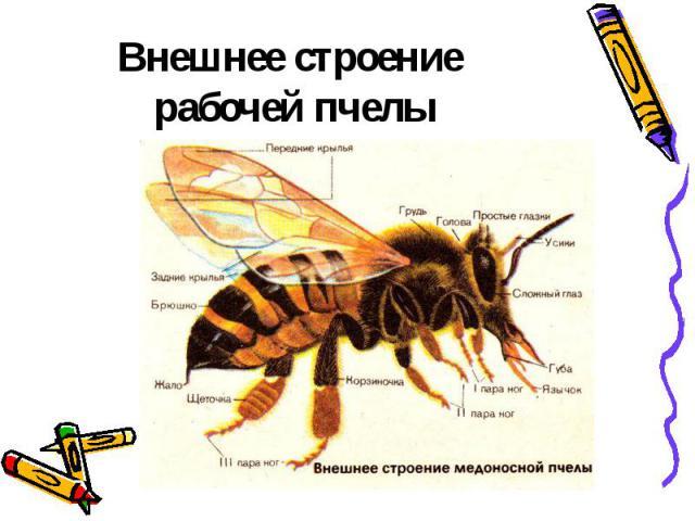 Внешнее строение рабочей пчелы