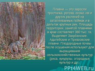 Плавни — это заросли тростника, рогоза, осоки, ив и других растений на затаплива