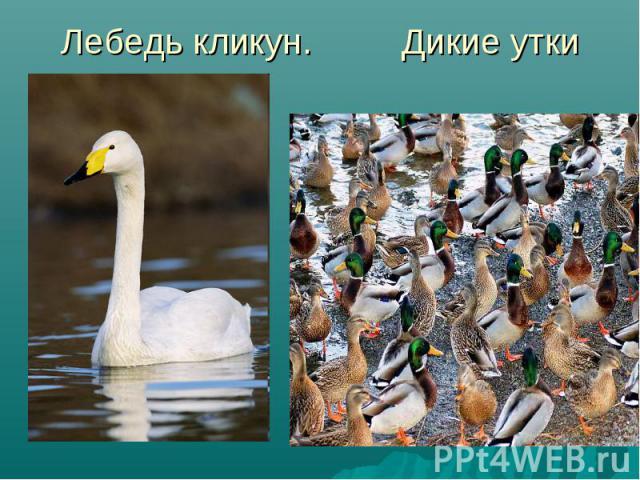 Лебедь кликун. Дикие утки