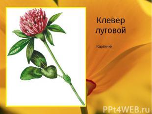 Клевер луговой