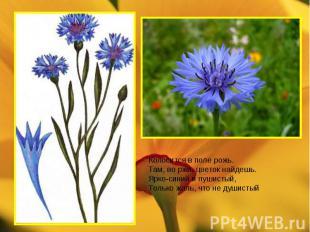 Колосится в поле рожь. Там, во ржи, цветок найдешь. Ярко-синий и пушистый, Тольк