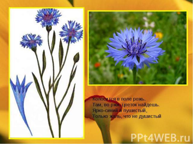 Колосится в поле рожь. Там, во ржи, цветок найдешь. Ярко-синий и пушистый, Только жаль, что не душистый