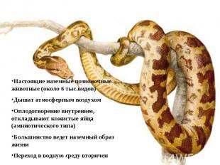 Настоящие наземные позвоночные животные (около 6 тыс.видов)Дышат атмосферным воз
