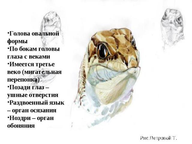 Голова овальной формыПо бокам головы глаза с векамиИмеется третье веко (мигательная перепонка)Позади глаз – ушные отверстияРаздвоенный язык – орган осязанияНоздри – орган обоняния