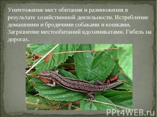 Уничтожение мест обитания и размножения в результате хозяйственной деятельности.