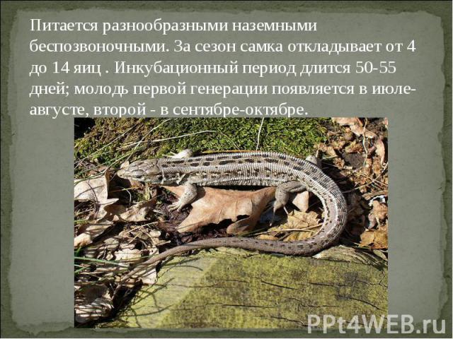 Питается разнообразными наземными беспозвоночными. За сезон самка откладывает от 4 до 14 яиц . Инкубационный период длится 50-55 дней; молодь первой генерации появляется в июле-августе, второй - в сентябре-октябре.