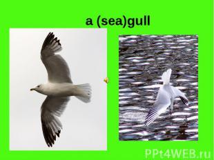 a (sea)gull