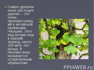 Самое древнее ныне растущее дерево – это гинко, произрастающий в китайской прови