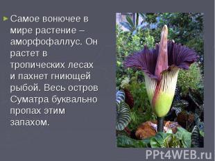 Самое вонючее в мире растение – аморфофаллус. Он растет в тропических лесах и па