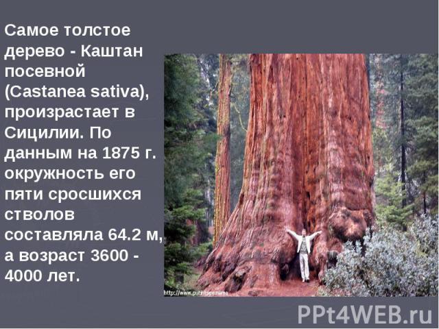Самое толстое дерево - Каштан посевной (Castanea sativa), произрастает в Сицилии. По данным на 1875 г. окружность его пяти сросшихся стволов составляла 64.2 м, а возраст 3600 - 4000 лет.