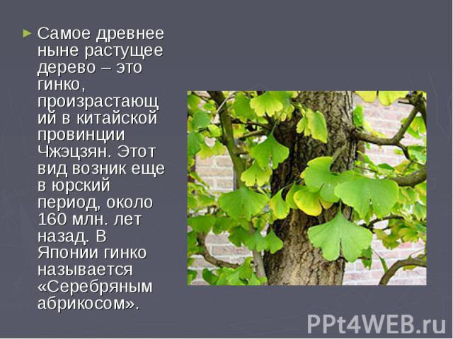 Самое древнее ныне растущее дерево – это гинко, произрастающий в китайской провинции Чжэцзян. Этот вид возник еще в юрский период, около 160 млн. лет назад. В Японии гинко называется «Серебряным абрикосом».