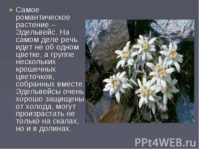 Самое романтическое растение – Эдельвейс. На самом деле речь идет не об одном цветке, а группе нескольких крошечных цветочков, собранных вместе. Эдельвейсы очень хорошо защищены от холода, могут произрастать не только на скалах, но и в долинах.