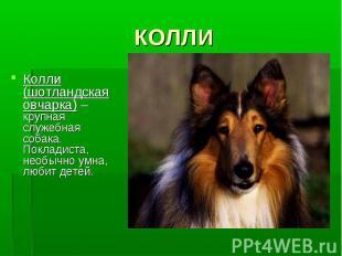 КОЛЛИКолли (шотландская овчарка) – крупная служебная собака. Покладиста, необычн