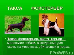 ТАКСА ФОКСТЕРЬЕРТакса, фокстерьер, скотч–терьер – маленькие собаки, выведенные д