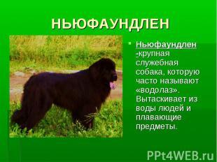 НЬЮФАУНДЛЕННьюфаундлен -крупная служебная собака, которую часто называют «водола