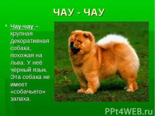 ЧАУ - ЧАУЧау-чау – крупная декоративная собака, похожая на льва. У неё чёрный яз