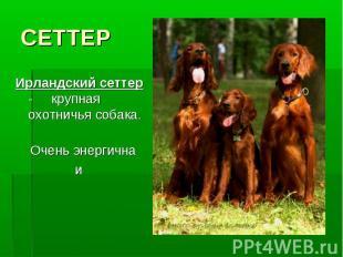 СЕТТЕРИрландский сеттер - крупная охотничья собака. Очень энергична и сообразите
