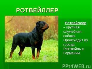 РОТВЕЙЛЛЕР Ротвейллер – крупная служебная собака. Происходит из города Роттвайль