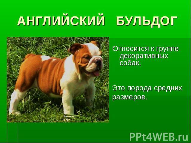 АНГЛИЙСКИЙ БУЛЬДОГОтносится к группе декоративных собак. Это порода средних размеров.