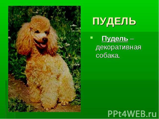 ПУДЕЛЬ Пудель – декоративная собака.