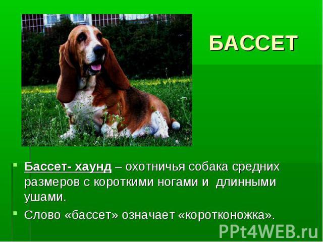 БАССЕТБассет- хаунд – охотничья собака средних размеров с короткими ногами и длинными ушами. Слово «бассет» означает «коротконожка».