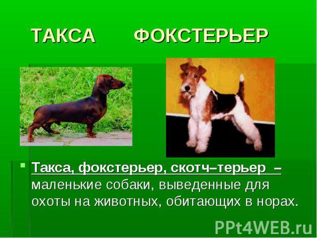 ТАКСА ФОКСТЕРЬЕРТакса, фокстерьер, скотч–терьер – маленькие собаки, выведенные для охоты на животных, обитающих в норах.