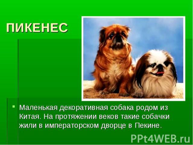 ПИКЕНЕСМаленькая декоративная собака родом из Китая. На протяжении веков такие собачки жили в императорском дворце в Пекине.