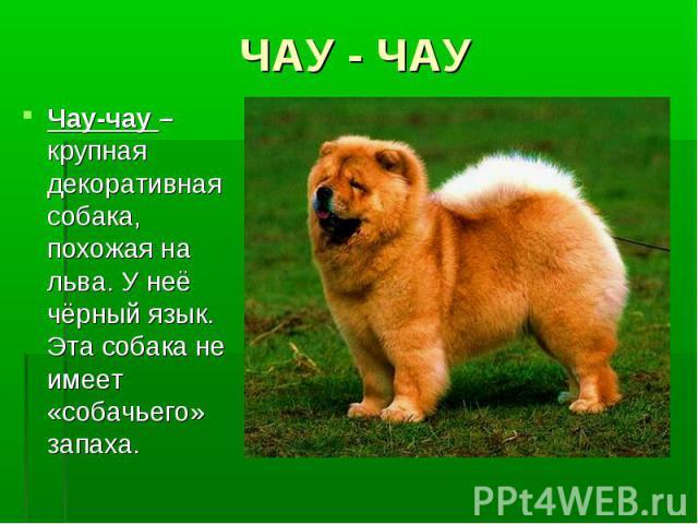 ЧАУ - ЧАУЧау-чау – крупная декоративная собака, похожая на льва. У неё чёрный язык. Эта собака не имеет «собачьего» запаха.
