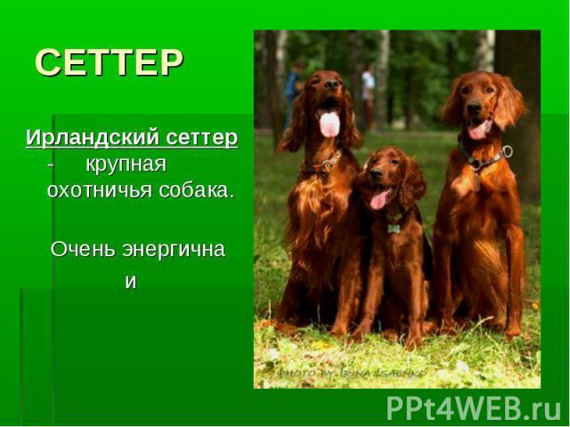 СЕТТЕРИрландский сеттер - крупная охотничья собака. Очень энергична и сообразительна.