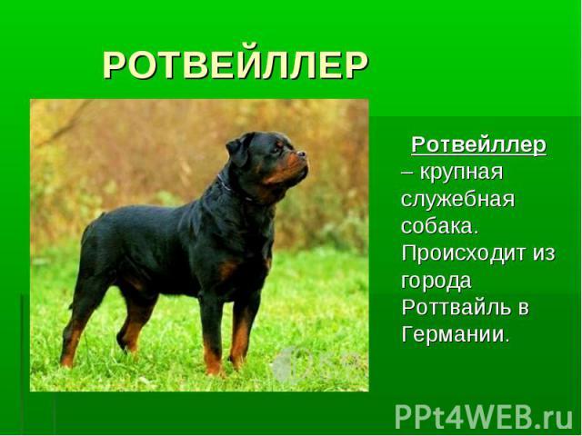 РОТВЕЙЛЛЕР Ротвейллер – крупная служебная собака. Происходит из города Роттвайль в Германии.