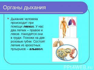Органы дыханияДыхание человека происходит при помощи легких. У нас два легких –