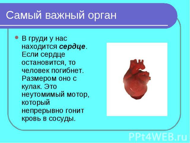 Самый важный органВ груди у нас находится сердце. Если сердце остановится, то человек погибнет. Размером оно с кулак. Это неутомимый мотор, который непрерывно гонит кровь в сосуды.