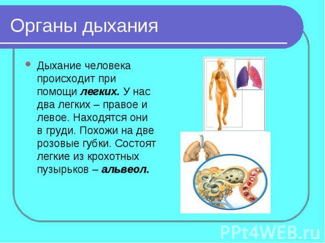 Органы дыханияДыхание человека происходит при помощи легких. У нас два легких – правое и левое. Находятся они в груди. Похожи на две розовые губки. Состоят легкие из крохотных пузырьков – альвеол.