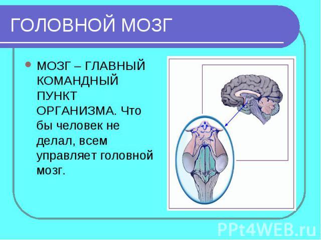 ГОЛОВНОЙ МОЗГМОЗГ – ГЛАВНЫЙ КОМАНДНЫЙ ПУНКТ ОРГАНИЗМА. Что бы человек не делал, всем управляет головной мозг.