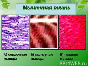 Мышечная ткань А) сердечные мышцыБ) скелетныемышцыВ) гладкиемышцы