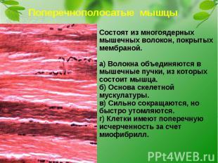 Поперечнополосатые мышцыСостоят из многоядерных мышечных волокон, покрытых мембр