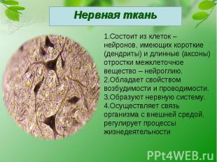 Нервная ткань1.Состоит из клеток – нейронов, имеющих короткие (дендриты) и длинн
