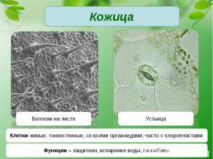 КожицаКлетки живые, тонкостенные, со всеми органоидами; часто с хлоропластамиФун