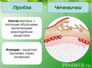 Клетки мертвые, с плотными оболочками, пропитанными жироподобным веществомФункци