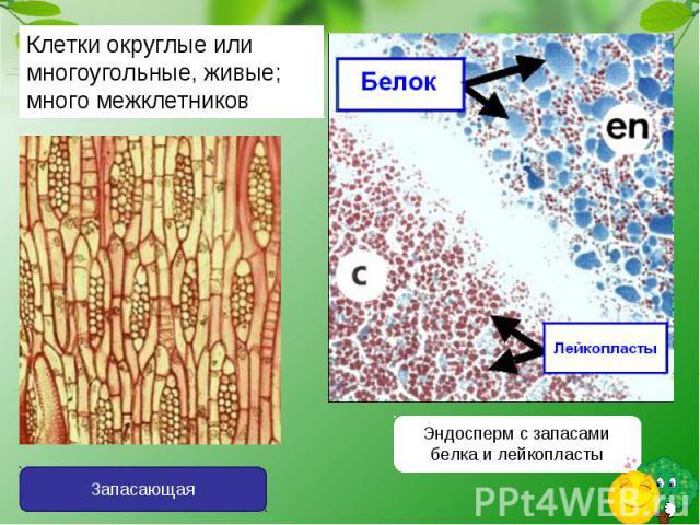 Клетки округлые или многоугольные, живые; много межклетниковЭндосперм с запасами белка и лейкопласты