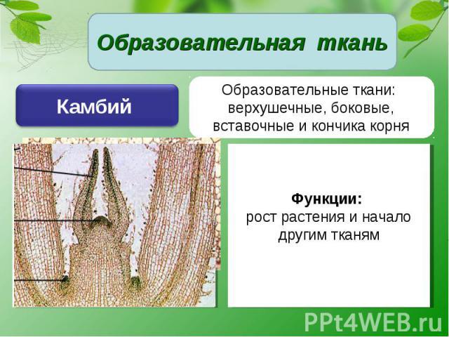 Образовательная ткань Камбий Образовательные ткани: верхушечные, боковые, вставочные и кончика корняФункции: рост растения и начало другим тканям