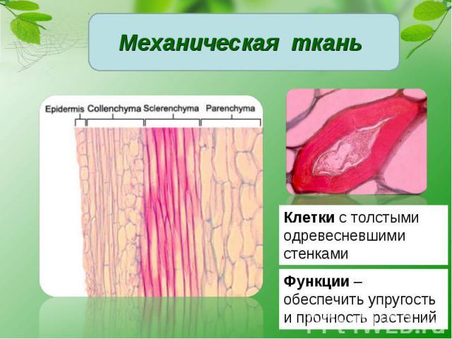 Механическая ткань Клетки с толстыми одревесневшими стенкамиФункции – обеспечить упругость и прочность растений